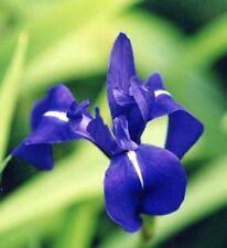 Iris bleu  laevigata dark blue  plante bassin vivace
