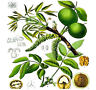 (5) English Walnut, Juglans regia TREE SEEDS - Excellent Shade Tree  - Comb. S&H
