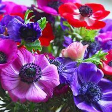 NEW! 20+ ANEMONE  DECAEN MIX FLOWER SEEDS / PERENNIAL
