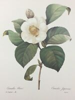 P.J. Redoute Print Camelia Blanc #14 The Most Beautiful Flowers Bookplate
