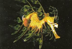 Postcard Leafy Seadragon (Phycodorus eques) South Australia MINT Oversize