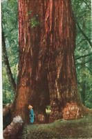 "*California Postcard-""Child Among Giant Redwoods.. Muir Woods Nat'l Monument"""