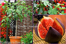 "30 Seeds Vigorous Self Fertile ""Violette De Solliès""(Ficus carica)Very Hardy Fig"