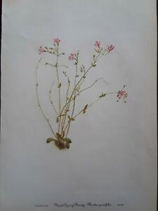 "Mary Vaux Walcott -1953 Print-""SPRING BEAUTY"" Botanical-Flower- 8x12- Plate #105"