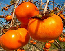 30Pcs Persimmon Seeds New Seed Garden Fruit Seeds Bonsai Tree