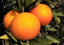***30 ml naturr. Blutorangenöl (Citrus sinensis), Ital., Topp-Qualität!!