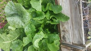 Horseradish Root Cutting x3 Easy To Grow Perennial Plant