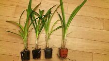 4 Plants Agapanthus Africanus, White Lily of the Nile, LIVE Potted Plant
