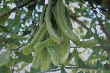 5 SEMI CARRUBE, carob, Ceratonia siliqua #467