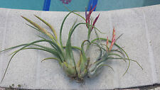Bromeliad Tillandsia caput-medusae large in or near spike Tropical Air Plant