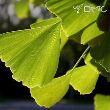 MAIDENHAIR TREE (Ginkgo Biloba) 5+EXTRA seeds (#24)