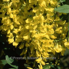 Laburnum Vossii Spring Flowering Tree 12 litre Pot  U K Grown