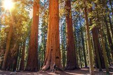 Neben dem gigantischen Mammutbaum wirkt jeder Mensch winzig.