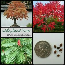 10+ STAGHORN SUMAC TREE SEEDS (Rhus typhina) Ornamental Bonsai