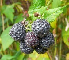 Blackcap Raspberry, Thimbleberry, Black Raspberry (Rubus occidentalis) 30 seeds