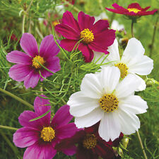 Cosmos Versailles Mix Seed Annual Mixed Colour Blooms Cut Flower Good Vase Life
