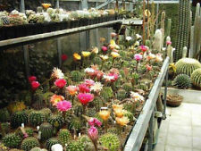 Echinopsis Hybrid Mixture - Sea Urchin Cactus - 25  Seeds