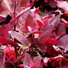 100 Graines d'Arroche Rouge - légume ancien - jardin potager méthode BIO