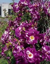 "Live Rose plant -  purple climpbing Rose  6""Grafted Plant ( Highly Fragnent)"