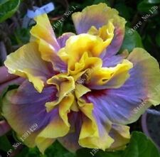 Rare Hibiscus Flowers Seeds Color Yellow/Purple. Qty. 20 Seeds