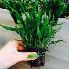 3X Microsorium MINI Java Fern - Potted - Aquarium Plant - Easy Grow - Quality