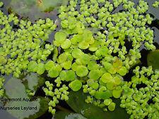 Duckweed mix. Greater (Spirodela polyrhiza) and Lesser (Lemna minor).