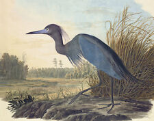 Audubon James John Little Blue Heron Print 11 x 14   #  #3262