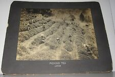 ANTIQUE PHOTO - PICKING TEA - JAPAN - STAMPED THE PHILADELPHIA MUSEUMS