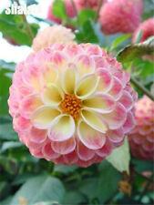 100pcs/pack Zinnia Seeds Rare Variety Heat Tolerant Garden Flower Easy Growing