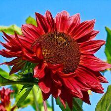 Seeds Sunflower Decorative Red Sun Annual Flowers Garden Cut Organic Ukraine