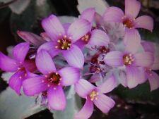 'GHOST PLANT' (KALANCHOE PUMILA) 3 PLANT/POT COMBO + FREE SHIPPING