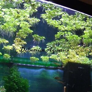 25-250 Salvinia Minima (Water Spangles) floating aquarium plant, fry and spawn
