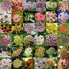 300pcs Mix Hoya Carnosa Seeds Potted Ball Orchid Flower Plant Seed Home Garden