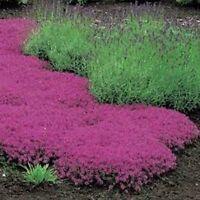 Creeping Thyme- Thymus Serpyllum-Magic Carpet- 25 Seeds