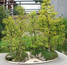 RARE HINOKI JAPANESE CYPRESS BONSAI TREE SEEDS *Larger Pack, Better Value