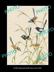 NEVILLE CAYLEY VINTAGE PRINT OF AUSTRALIAN BIRDS 8x11 THE FAIRY WREN