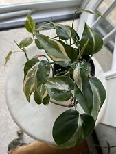 Philodendron Rio *Rare* Variegated Aroid