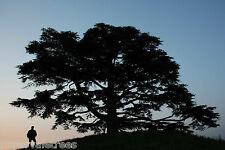 Cedrus libani / Cedar of Lebanon, beautiful large tree grown peat free in 3L pot