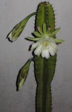 """15"""" CUTTING of Night Blooming Cactus Cereus Repandus Peruvian Apple Cactus"""