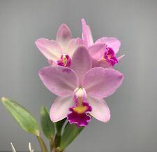 Blooming Size - Cattlianthe Japanese Beauty `Sakura' - Pink Compact Cattleya