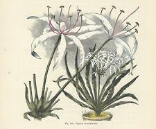 Lampadina Grande 1 x Crinum Bianco e Rosa Giglio di palude spedizione gratuita nel Regno Unito
