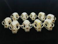 5PCS//10PCS products shelves  skull bone  animal specimens supplies art bone