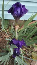 Reblooming Bearded Purple Iris -3 Rhizomes