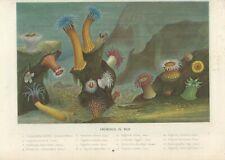 Stampa antica ANEMONE DI MARE ATTINIA Actinia 1870 ca. Antique print