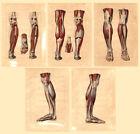 5 Medical Anatomy Antique Prints-MUSCLES OF THE LEG-BOURGERY-Jacob-Benard-1831