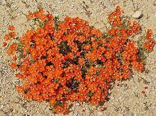 100 SCARLET PIMPERNEL Anagallis Arvensis Flower Seeds