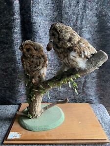 Pair of Tawny Owl Taxidermy with Wooden Case - Read Full Description.