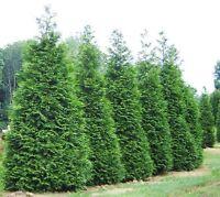 Green Giant Arborvitae Tree ( Thuja plicata )  - Live Plant - Quart Pot
