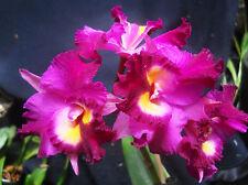 Pot Jerry Rhefield 'Hawaii',  orchid plant