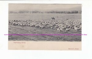 TRAVELLING SHEEP vintage KERRY postcard c.1900s  WOOL Australia
